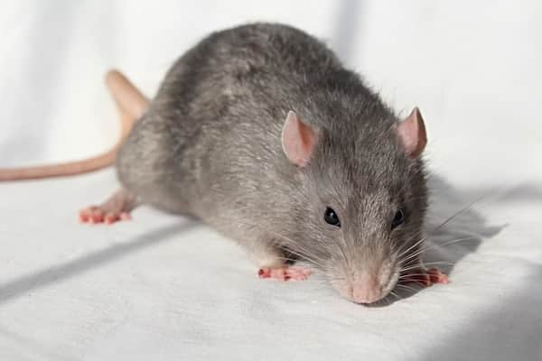 Prevent Your Garden From Rats